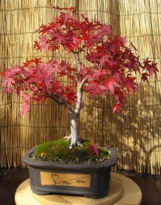 Prodaja Atelje Nešic   Istorijat   bonsai japanski javor u jesen