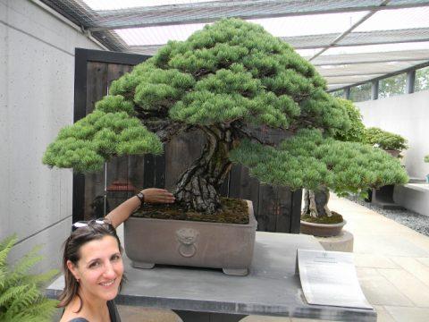Prodaja Atelje Nešic | Crespi bonsai centar
