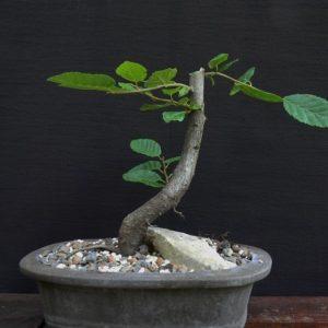 Prodaja Atelje Nešić | prebonsai grab godina carpinus betulus